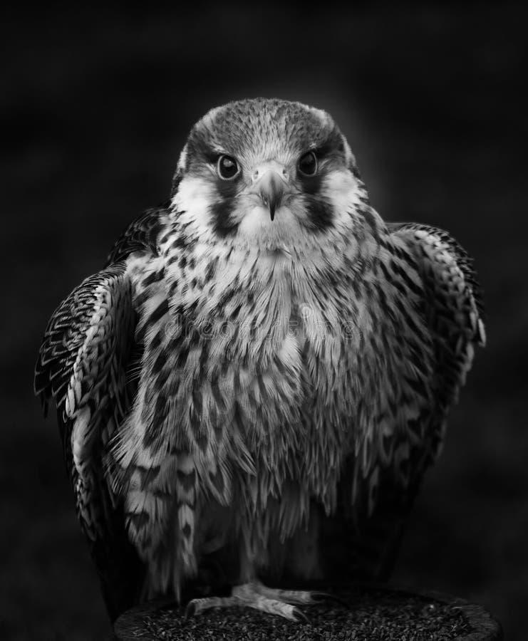Peregrine Falcon em preto e branco foto de stock