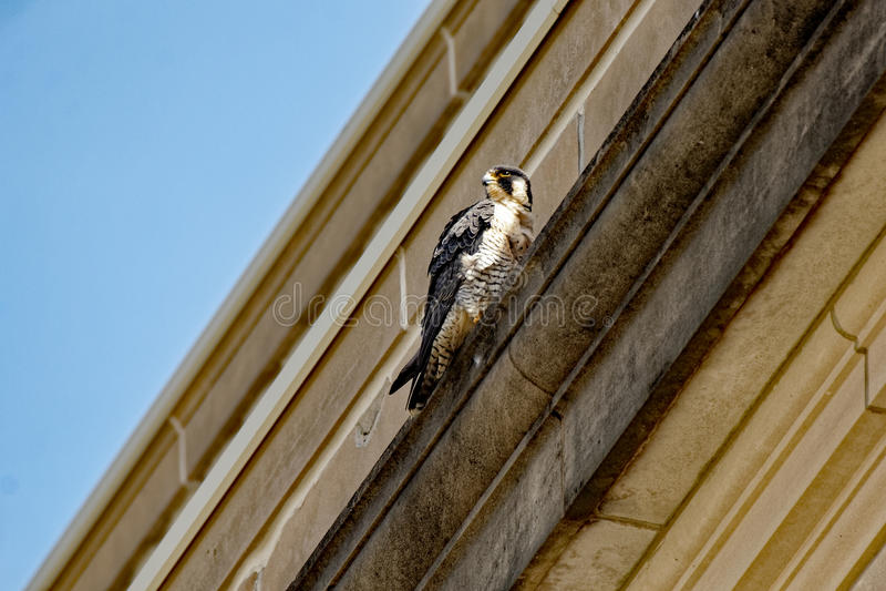 Peregrine Falcon em uma borda imagem de stock
