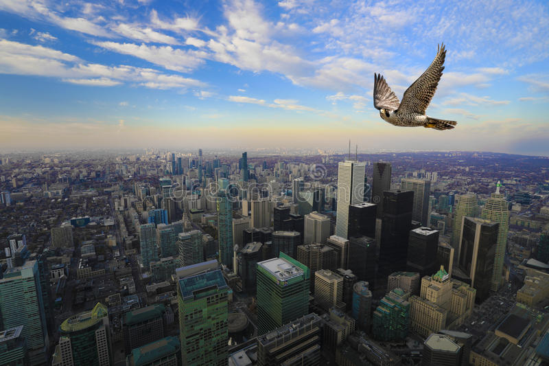Peregrine Falcon en vuelo arriba sobre centro de ciudad de Toronto imágenes de archivo libres de regalías
