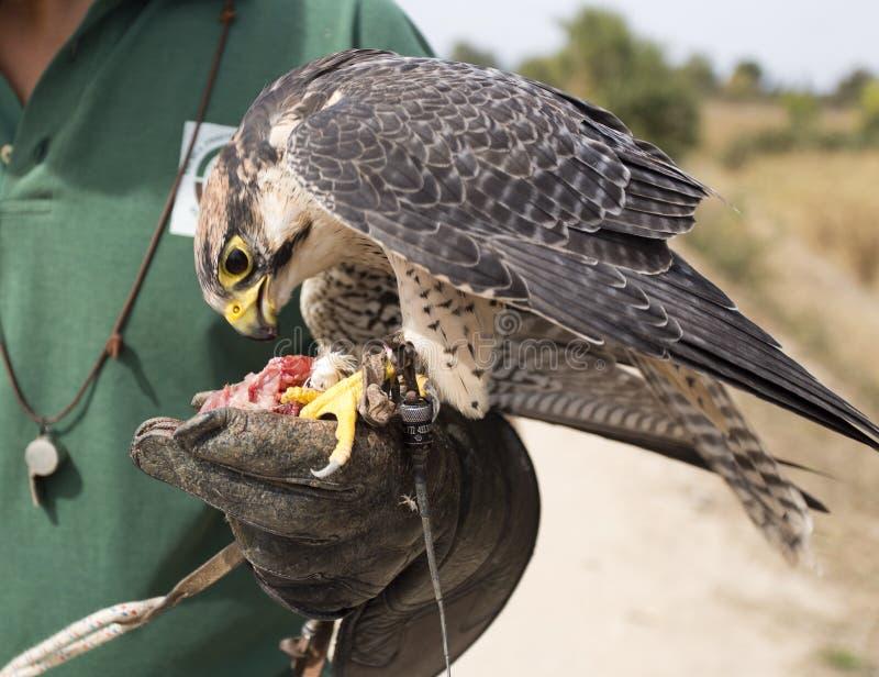 Peregrine Falcon et fauconnier photographie stock
