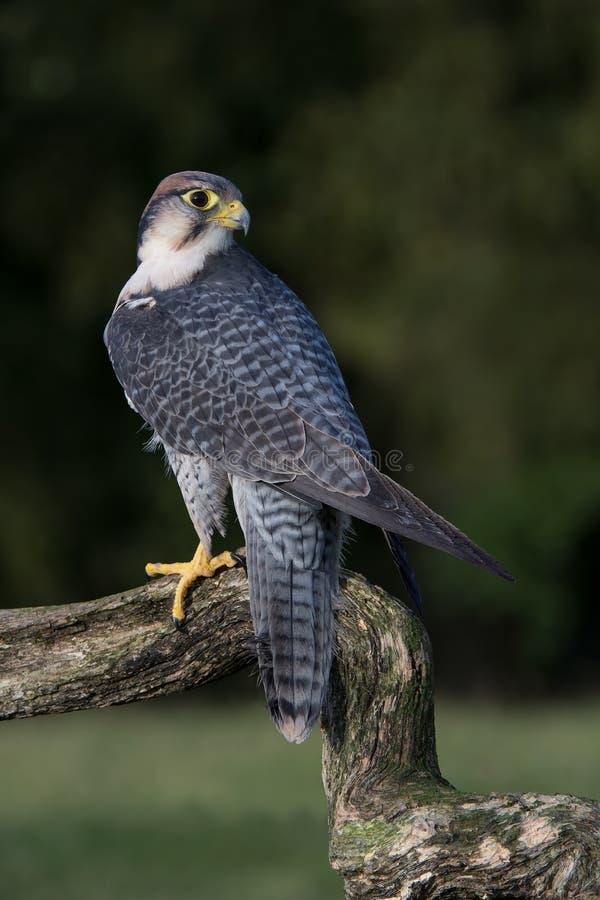 Peregrine Falcon (Falco Peregrines) stockfoto