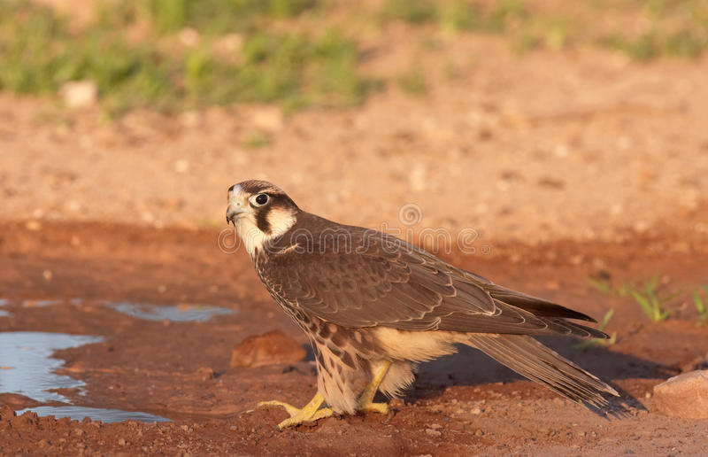 Peregrine Falcon (Falco Peregrinus). Sitting next to the water pool in South Africa stock photo