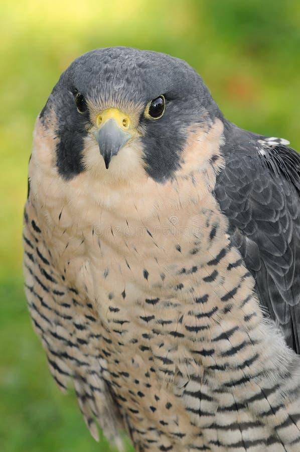 Peregrine Falcon (Falco peregrinus). Captive bird stock image