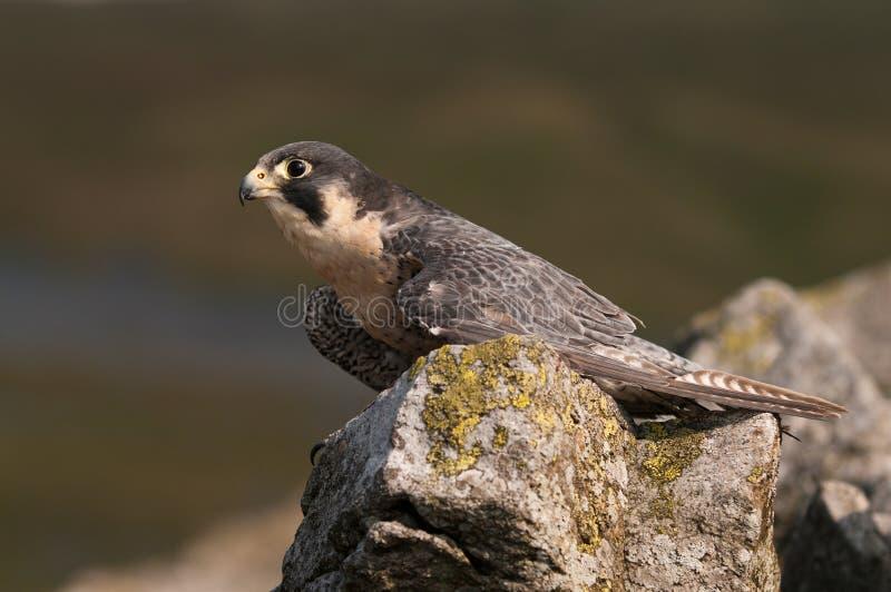 Peregrine Falcon (Falco Peregrinus) royalty free stock photos