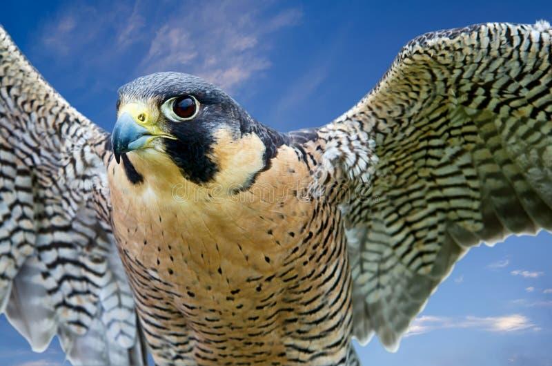Peregrine Falcon (Falco-peregrinus) stockbild
