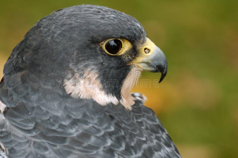 Peregrine Falcon (falco peregrinus). Captive bird stock photos
