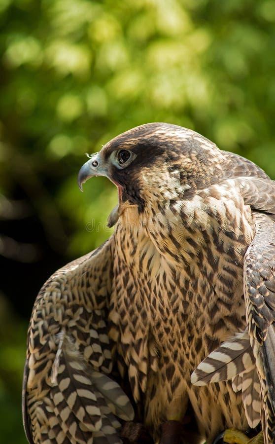Download Peregrine falcon stock photo. Image of bird, falcons - 43346778