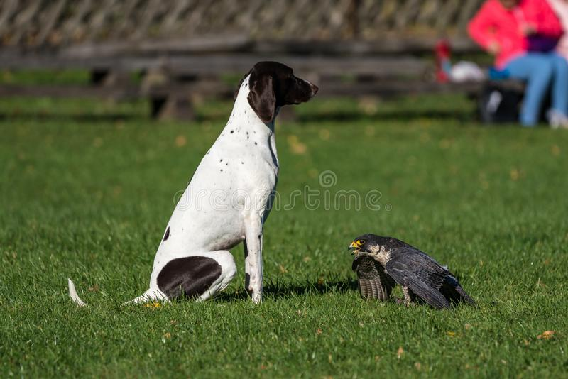 The peregrine falcon, Falco peregrinus. The fastest animals in the world. The peregrine falcon, Falco peregrinus also known as the peregrine and historically as royalty free stock images