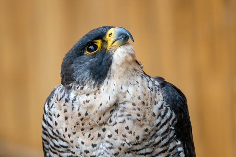 The peregrine falcon Falco peregrinus bird. Of prey portrait royalty free stock photo