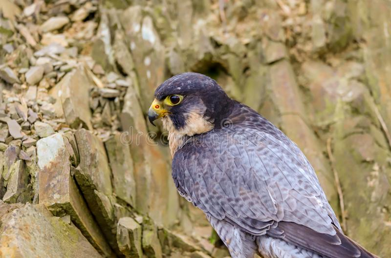 Peregrine Falcon Falco peregrinus bird of prey. Close up of a Peregrine Falcon Falco peregrinus bird of prey.  Taken in the mid Wales countryside, UK stock image