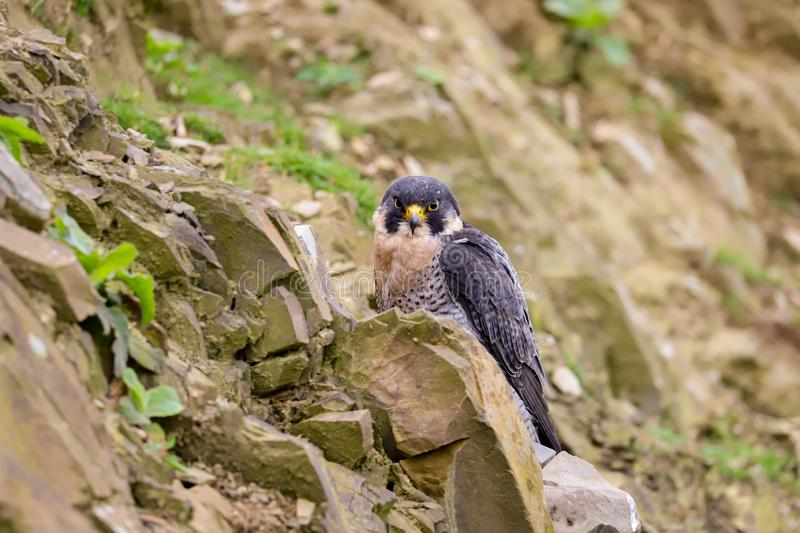 Peregrine Falcon Falco peregrinus bird of prey. Close up of a Peregrine Falcon Falco peregrinus bird of prey.  Taken in the mid Wales countryside, UK stock images