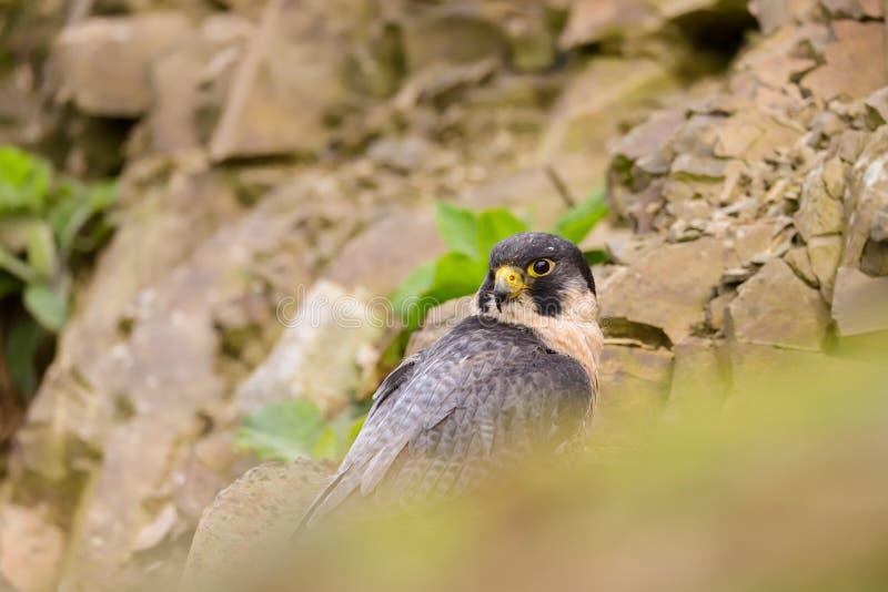Peregrine Falcon Falco peregrinus bird of prey royalty free stock photography