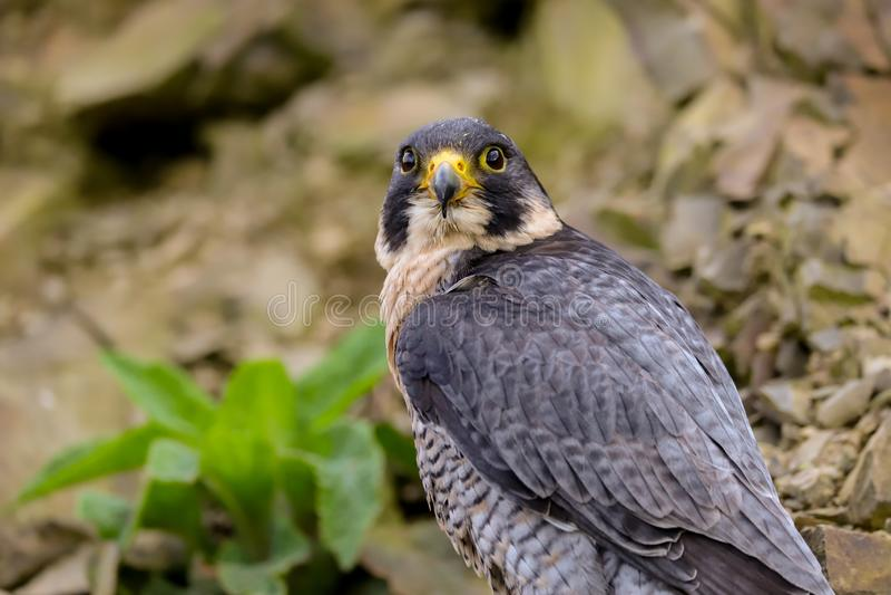 Peregrine Falcon Falco peregrinus bird of prey. Close up of a Peregrine Falcon Falco peregrinus bird of prey.  Taken in the mid Wales countryside, UK royalty free stock photos