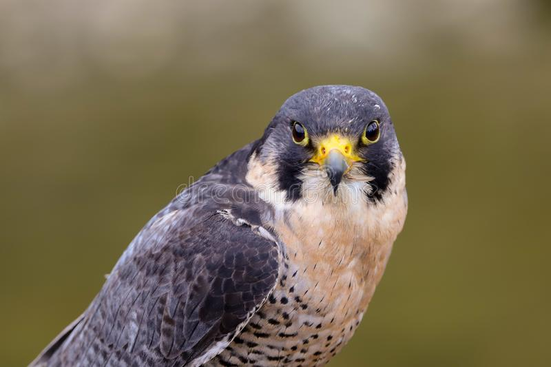 Peregrine Falcon Falco peregrinus bird of prey. Close up of a Peregrine Falcon Falco peregrinus bird of prey.  Taken in the mid Wales countryside, UK royalty free stock images