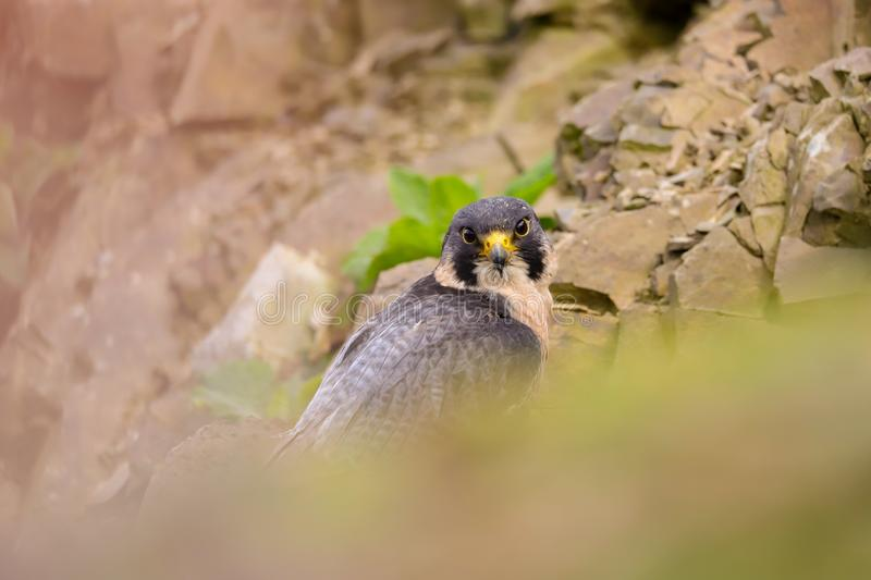 Peregrine Falcon Falco peregrinus bird of prey. Close up of a Peregrine Falcon Falco peregrinus bird of prey.  Taken in the mid Wales countryside, UK stock photography
