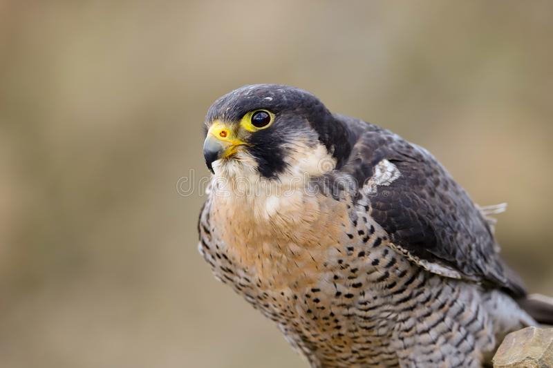 Peregrine Falcon Falco peregrinus bird of prey. Close up of a Peregrine Falcon Falco peregrinus bird of prey.  Taken in the mid Wales countryside, UK royalty free stock photography