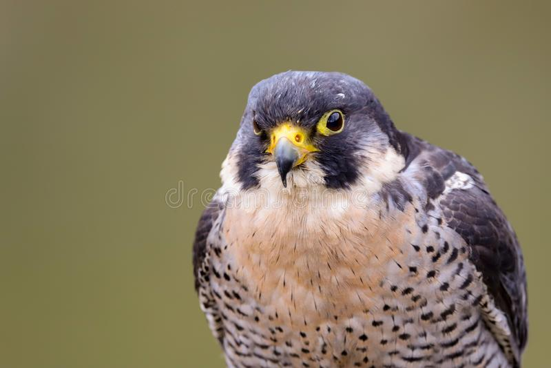 Peregrine Falcon Falco peregrinus bird of prey stock photography