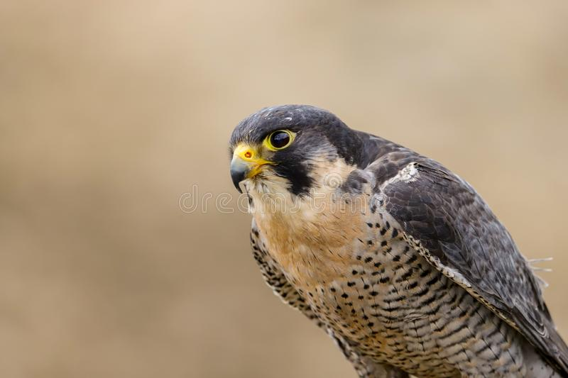 Peregrine Falcon Falco peregrinus bird of prey. Close up of a Peregrine Falcon Falco peregrinus bird of prey.  Taken in the mid Wales countryside, UK royalty free stock image