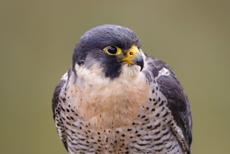 Peregrine Falcon Falco peregrinus bird of prey. Close up of a Peregrine Falcon Falco peregrinus bird of prey.  Taken in the mid Wales countryside, UK stock photos