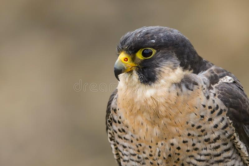 Peregrine Falcon Falco peregrinus bird of prey royalty free stock images