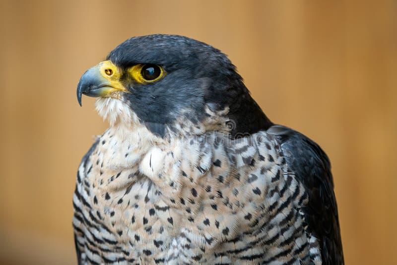 The peregrine falcon Falco peregrinus. Bird of prey portrait royalty free stock photos