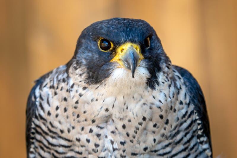 The peregrine falcon Falco peregrinus bird. Of prey portrait royalty free stock photos