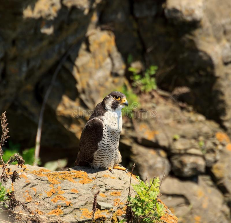 Peregrine Falcon Falco peregrinus on the edge of a cliff stock images