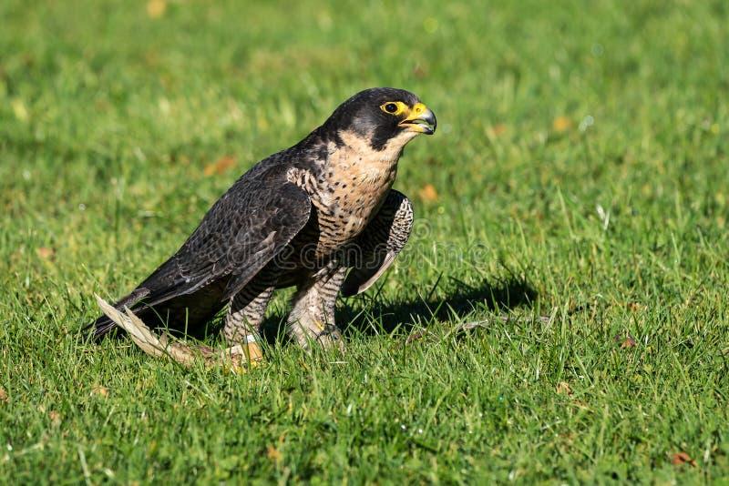 The peregrine falcon, Falco peregrinus. The fastest animals in the world. The peregrine falcon, Falco peregrinus also known as the peregrine and historically as royalty free stock photo