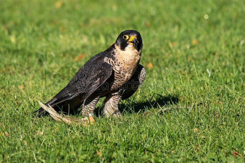 The peregrine falcon, Falco peregrinus. The fastest animals in the world. The peregrine falcon, Falco peregrinus also known as the peregrine and historically as stock image