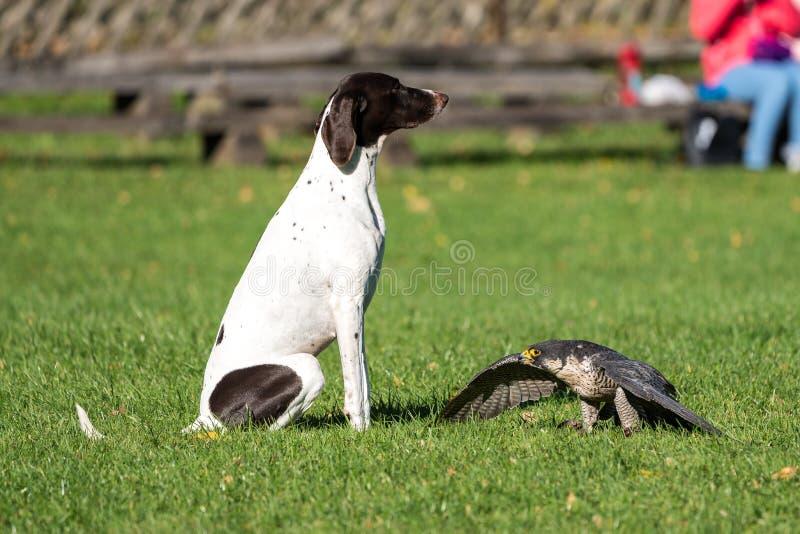 The peregrine falcon, Falco peregrinus. The fastest animals in the world. The peregrine falcon, Falco peregrinus also known as the peregrine and historically as stock photos