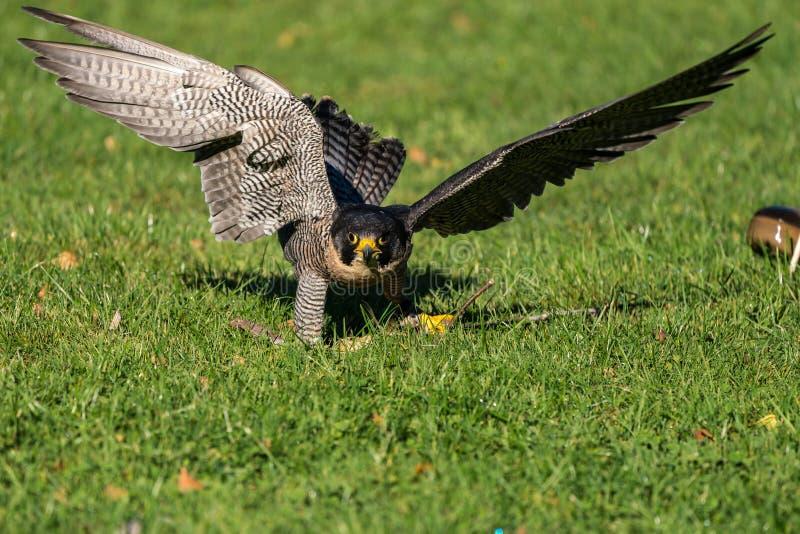 The peregrine falcon, Falco peregrinus. The fastest animals in the world. The peregrine falcon, Falco peregrinus also known as the peregrine and historically as royalty free stock photography