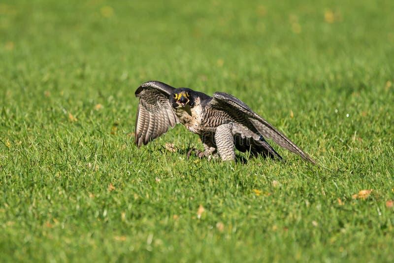 The peregrine falcon, Falco peregrinus. The fastest animals in the world. The peregrine falcon, Falco peregrinus also known as the peregrine and historically as royalty free stock image