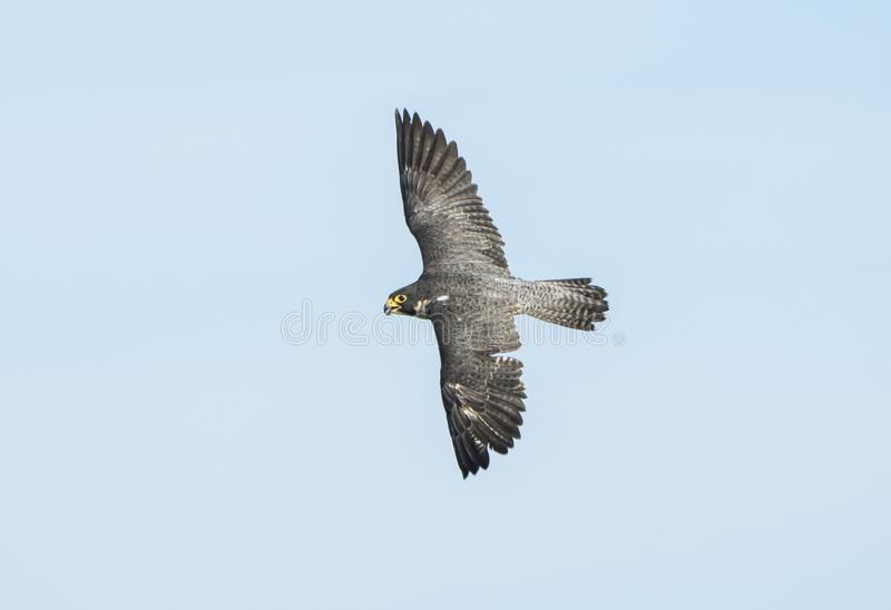 Peregrine Falcon Falco-peregrinus im Kampf lizenzfreies stockfoto