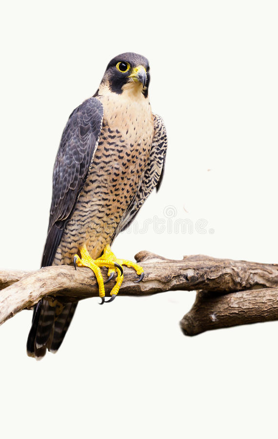 Peregrine Falcon Falco peregrinus bird. A Peregrine Falcon isolated on white background. Falco peregrinus. Also known as the Duck Hawk stock photo