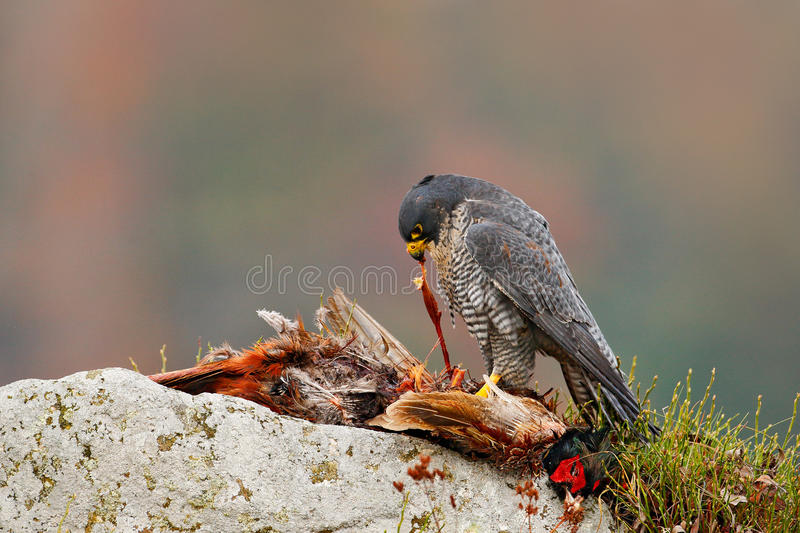Peregrine Falcon, Falco peregrinus, with kill Common Pheasant on stone. Orange autumn forest in the background. Bird of prey, bloo. M on stone royalty free stock photography