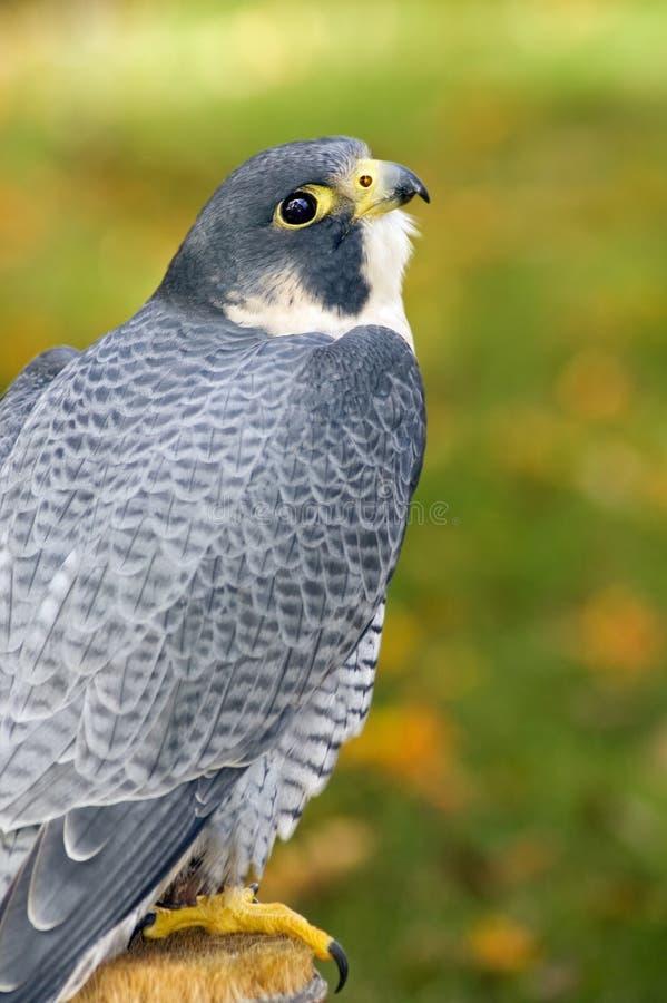 Peregrine Falcon (Falco peregrinus) Looks up from Perch. Peregrine Falcon (Falco peregrinus) looks up from on perch - captive bird stock photo