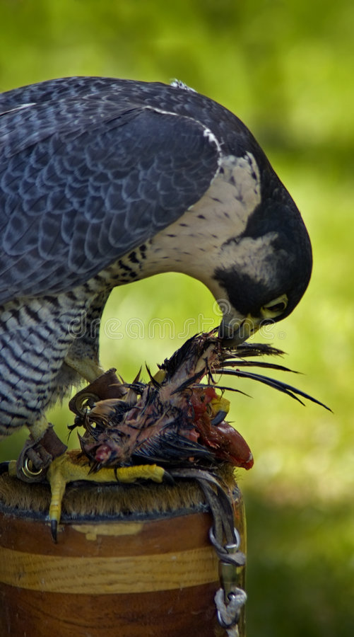 Peregrine Falcon (Falco peregrinus) and Lunch - Motion blur. Peregrine Falcon (Falco peregrinus) sits on her perch and tears apart her lunch - motion blur royalty free stock photo