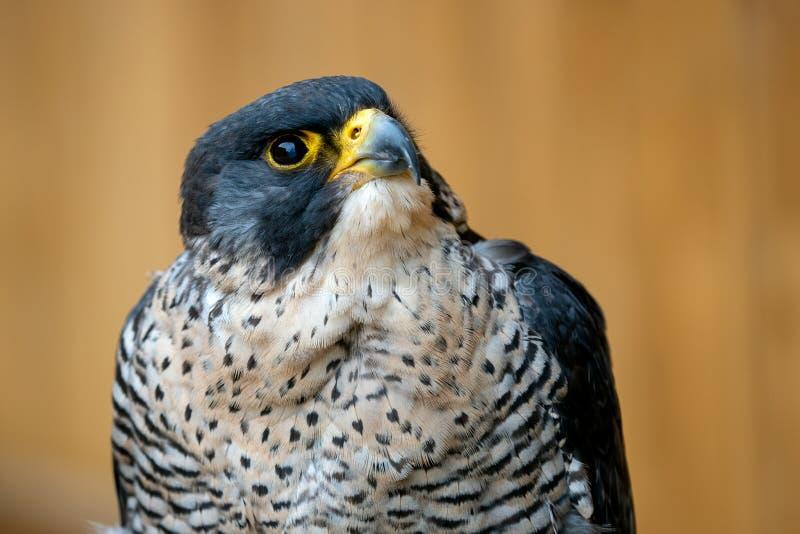 The peregrine falcon Falco peregrinus. Bird of prey portrait stock photography