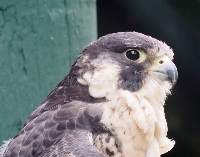 Peregrine Falcon Or Falco Peregrinus. In captivity at the Edmonton Valley Zoo Edmonton Alberta stock photo