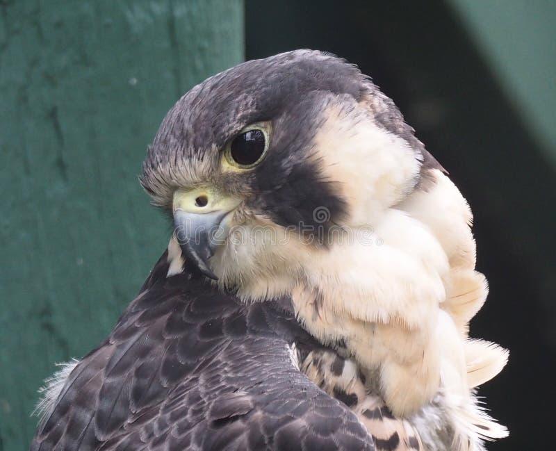 Peregrine Falcon Or Falco Peregrinus. In captivity at the Edmonton Valley Zoo Edmonton Alberta stock image