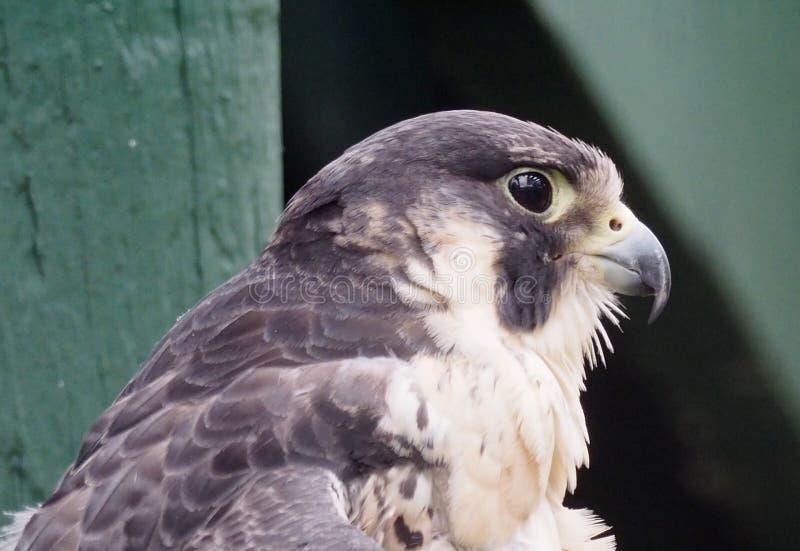 Peregrine Falcon Or Falco Peregrinus. In captivity at the Edmonton Valley Zoo Edmonton Alberta stock photography