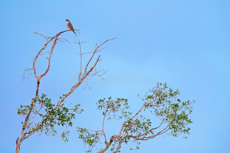 Peregrine falcon, Falco peregrinus, siting on the tree with blue sky, Tarcoles River, Carara National Park, Costa Rica. Bird in th. E nature habitat. Wildlife stock image
