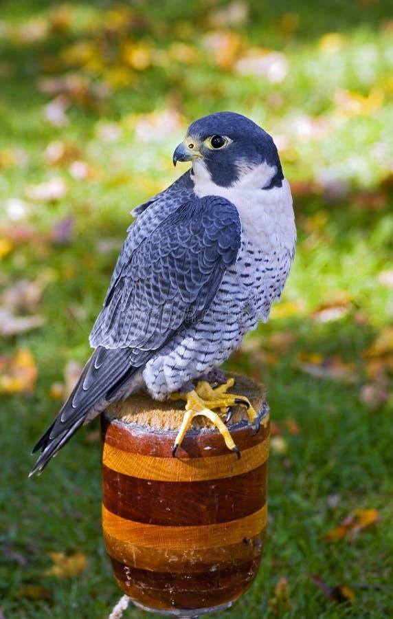Peregrine Falcon (Falco peregrinus) Sits on Perch. Captive bird royalty free stock images