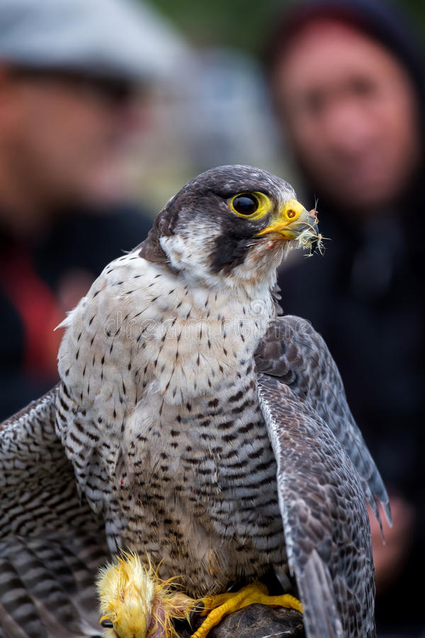 Peregrine Falcon & x28; Falco peregrinus& x29; arkivbilder
