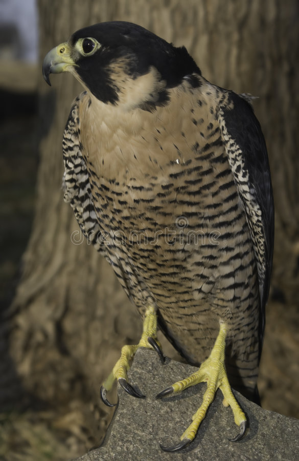 Peregrine Falcon (female) stock images