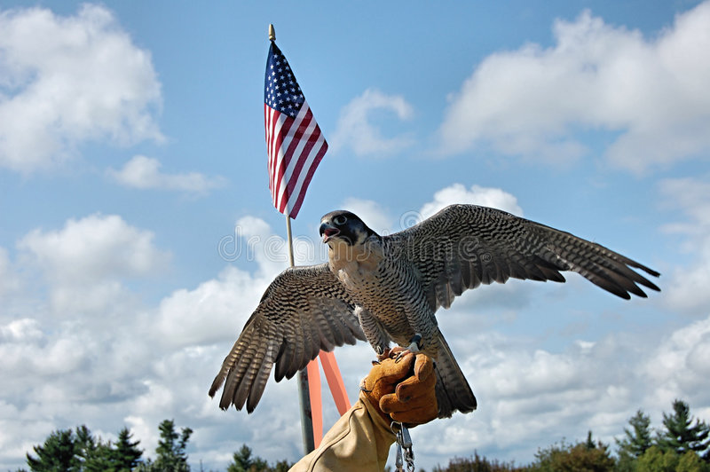 Peregrine falcon with flag royalty free stock images