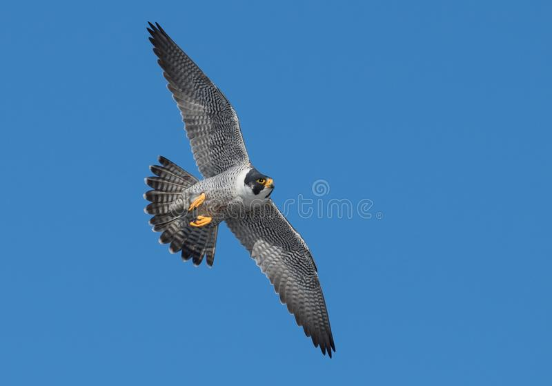 Peregrine Falcon Flying i himlen arkivbild