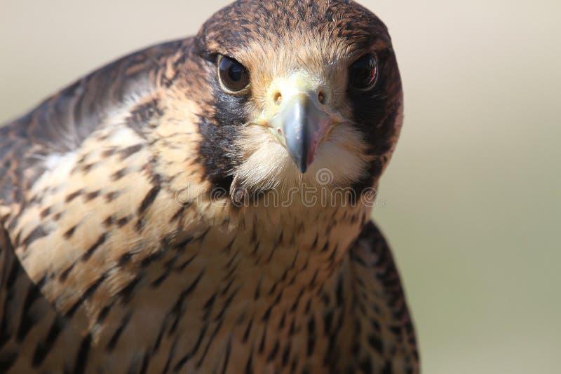 Peregrine Falcon giovanile nell'addestramento fotografia stock libera da diritti
