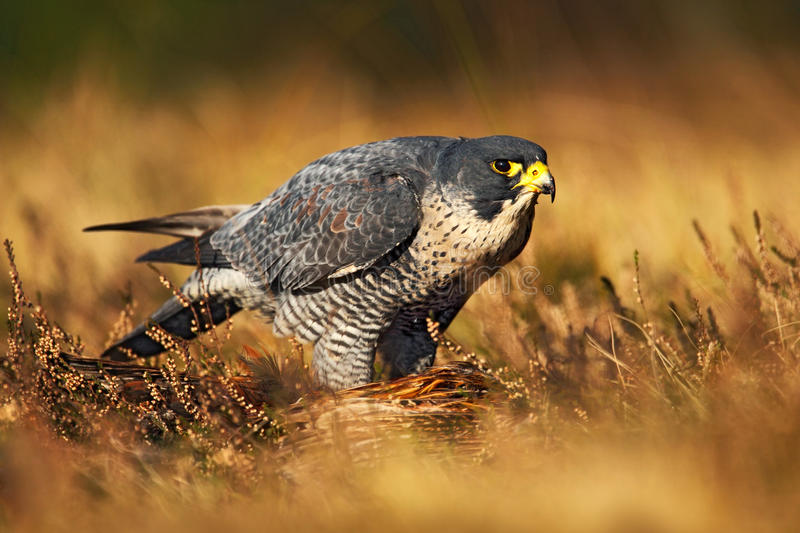 Peregrine falcon in the grass. Bird of prey Peregrine Falcon in heather meadow. Peregrine falcon in the nature habitat. Summer day. In nature, Germany royalty free stock image