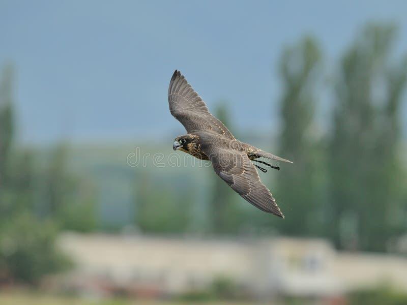 Peregrine Falcon i flykten royaltyfri foto
